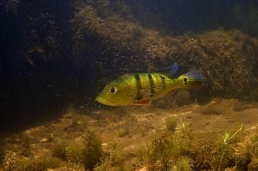 Peacock Bass (Cichla ocellaris) protecting fry, Karanambu, Rupununi, Guyana  -  Pete Oxford