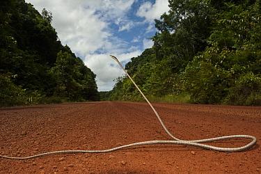 Brown Vine Snake (Oxybelis aeneus) on road in defensive posture, Iwokrama Rainforest Reserve, Guyana  -  Pete Oxford