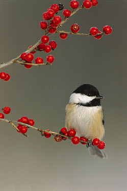 Black-capped Chickadee (Poecile atricapillus) with berries, North America  -  Steve Gettle