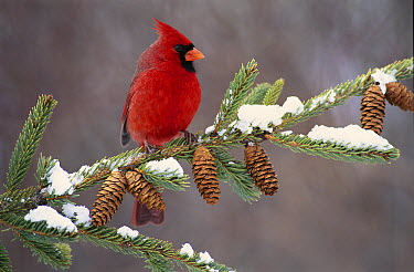 Northern Cardinal (Cardinalis cardinalis) male, South Lyon, Michigan  -  Steve Gettle