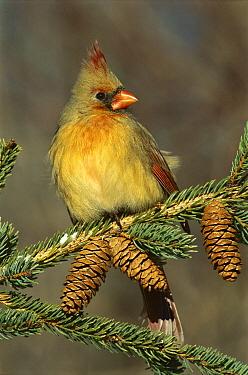 Northern Cardinal (Cardinalis cardinalis) female, South Lyon, Michigan  -  Steve Gettle