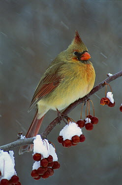 Northern Cardinal (Cardinalis cardinalis) female, North America  -  Steve Gettle