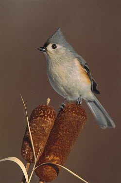 Tufted Titmouse (Baeolophus bicolor) on cattails, North America  -  Steve Gettle
