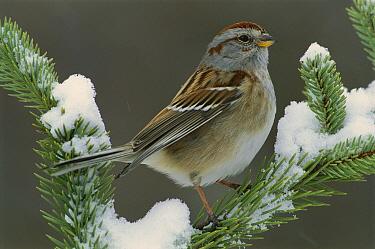 American Tree Sparrow (Spizella arborea), North America  -  Steve Gettle