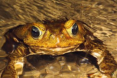 Cane Toad (Bufo marinus) in Atlantic Forest, Rio de Janeiro, Brazil  -  Luciano Candisani