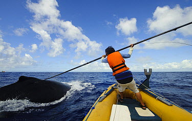 Humpback Whale (Megaptera novaeangliae) being tagged by researcher with satellite radio transmiter to study the migratory routes, southern Bahia, Brazil  -  Luciano Candisani