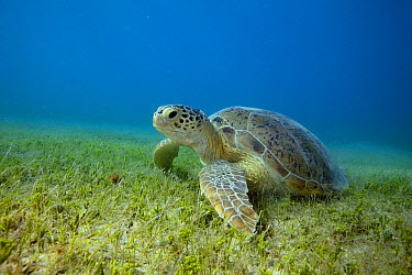 Green Sea Turtle (Chelonia mydas) resting on sea grass, Siriba Island, Abrolhos Islands, Bahia, Brazil  -  Luciano Candisani