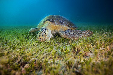 Green Sea Turtle (Chelonia mydas) feeding on sea grass, Siriba Island, Abrolhos Islands, Bahia, Brazil  -  Luciano Candisani