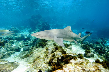 Lemon Shark (Negaprion acutidens), Rocas Atoll, Brazil  -  Luciano Candisani