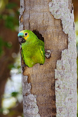 Blue-fronted Parrot (Amazona aestiva) emerging from nest cavity, southern Pantanal, Brazil  -  Luciano Candisani