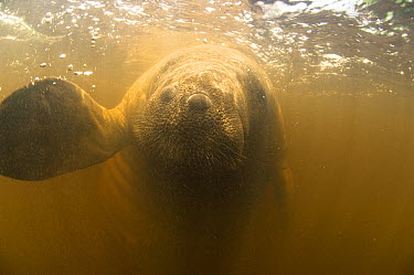 Antillean Manatee (Trichechus manatus manatus) in shallow mangrove waters, Tatuamunha River, Brazil  -  Luciano Candisani