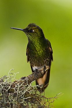 Buff-tailed Coronet (Boissonneaua flavescens) hummingbird, Mindo Cloud Forest, western slope of Andes, Ecuador  -  Pete Oxford