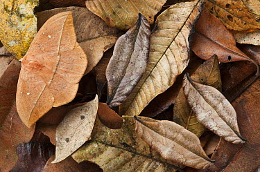 Dead-leaf Moth (Oxytenis modestia) group camouflaged in leaf litter, Mindo Cloud Forest, western slope of Andes, Ecuador  -  Pete Oxford