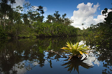 Bromeliad (Bromeliaceae) in flooded igapo forest, Cocaya River, eastern Amazon, Ecuador  -  Pete Oxford
