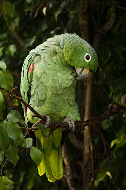 Mealy Parrot (Amazona farinosa) preening in rainforest, Amazon, Ecuador  -  Pete Oxford