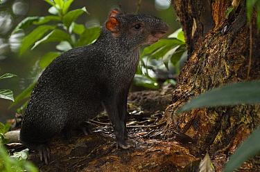 Black Agouti (Dasyprocta fuliginosa) in rainforest, Amazon, Ecuador  -  Pete Oxford