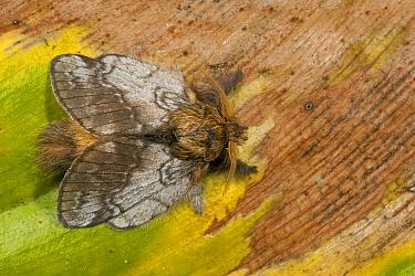 Flannel Moth (Megalopygidae), Mindo Cloud Forest, western slope of Andes, Ecuador  -  Pete Oxford