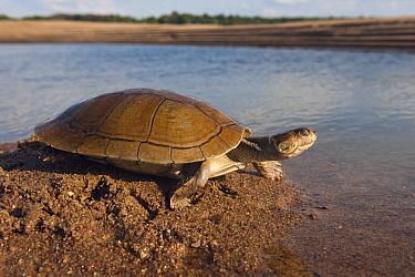 Savanna Side-necked Turtle (Podocnemis vogli) released after being found by fishermen in the river, Orinoco River, Apure, Venezuela  -  Pete Oxford
