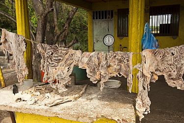 Capybara (Hydrochoerus hydrochaeris), caiman and catfish bushmeat illegally for sale, confiscated from stalls on the main road in the Llanos, near San Fernando de Apure, Venezuela  -  Pete Oxford