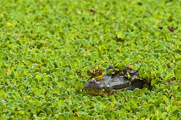 Spectacled Caiman (Caiman crocodilus) in Water Lettuce (Pistia stratiotes), Hato Masaguaral working farm and biological station, Venezuela  -  Pete Oxford
