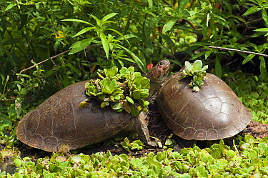Savanna Side-necked Turtle (Podocnemis vogli) pair basking, Hato Masaguaral working farm and biological station, Venezuela  -  Pete Oxford