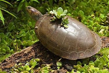 Savanna Side-necked Turtle (Podocnemis vogli) basking, Hato Masaguaral working farm and biological station, Venezuela  -  Pete Oxford