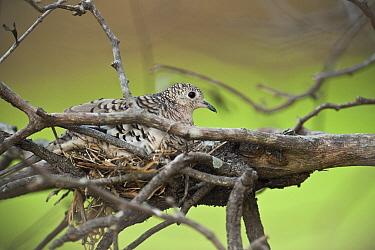 Scaled Dove (Columbina squammata) on nest, Hato Masaguaral working farm and biological station, Venezuela  -  Pete Oxford