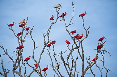 Scarlet Ibis (Eudocimus ruber) flock roosting, Hato Masaguaral working farm and biological station, Venezuela  -  Pete Oxford