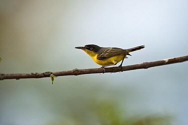 Common Tody-flycatcher (Todirostrum cinereum), Hato Masaguaral working farm and biological station, Venezuela  -  Pete Oxford