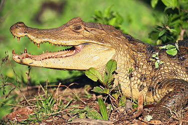 Spectacled Caiman (Caiman crocodilus), Hato Masaguaral working farm and biological station, Venezuela  -  Pete Oxford