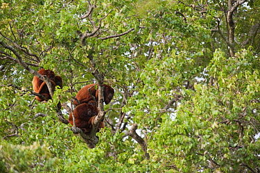 Red Howler Monkey (Alouatta seniculus) group in tree, Hato Masaguaral working farm and biological station, Venezuela  -  Pete Oxford