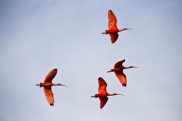 Scarlet Ibis (Eudocimus ruber) group flying, Hato Masaguaral working farm and biological station, Venezuela  -  Pete Oxford