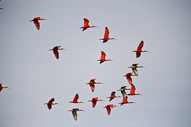 Scarlet Ibis (Eudocimus ruber) and White Ibis (Eudocimus albus) flock flying, Hato Masaguaral working farm and biological station, Venezuela  -  Pete Oxford