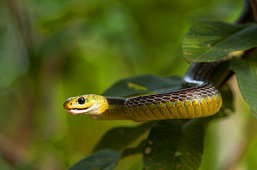Keeled Racer (Chironius carinatus) in tree, Hato Masaguaral working farm and biological station, Venezuela  -  Pete Oxford