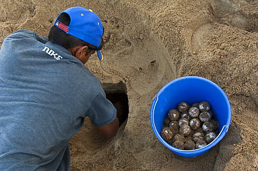 South American River Turtle (Podocnemis expansa) nests being dug up for relocation to safer, higher ground, part of reintroduction to the wild program, Playita Beach, Orinoco River, Apure, Venezuela  -  Pete Oxford