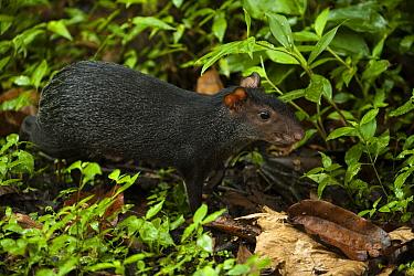 Black Agouti (Dasyprocta fuliginosa), Napo River, Yasuni National Park, Amazon, Ecuador  -  Pete Oxford