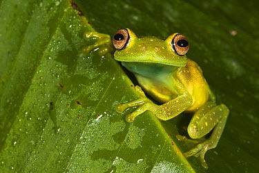 Demerara Falls Tree Frog (Hypsiboas cinerascens), Napo River, Yasuni National Park, Amazon, Ecuador  -  Pete Oxford