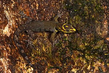 Trinidad Gecko (Gonatodes humeralis) camouflaged on bark, Napo River, Yasuni National Park, Amazon, Ecuador  -  Pete Oxford
