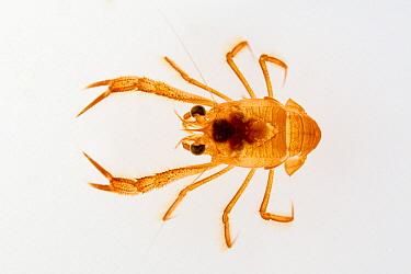 Pelagic Red Crab (Pleuroncodes planipes), Baja California, Mexico  -  Suzi Eszterhas