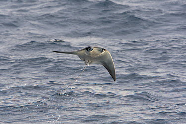 Munk's Devil Ray (Mobula munkiana) jumping out of water, Baja California, Mexico  -  Suzi Eszterhas