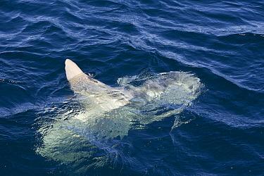 Ocean Sunfish (Mola mola) near surface, Baja California, Mexico  -  Suzi Eszterhas