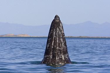 Gray Whale (Eschrichtius robustus) with tooth marks from attacks by killer whales, San Ignacio Lagoon, Baja California, Mexico  -  Suzi Eszterhas