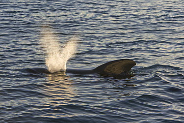 Short-finned Pilot Whale (Globicephala macrorhynchus) surfacing, Sea of Cortez, Baja California, Mexico  -  Suzi Eszterhas
