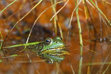 Northern Green Frog (Rana clamitans melanota), Nova Scotia, Canada  -  Scott Leslie
