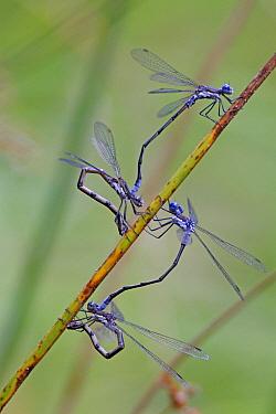 Rambur's Forktail (Ischnura ramburii) damselflies mating, Nova Scotia, Canada  -  Scott Leslie