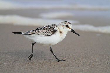 Sanderling (Calidris alba) on beach, Magdalen Islands, Quebec, Canada  -  Scott Leslie