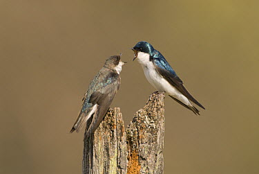 Tree Swallow (Tachycineta bicolor) pair courting, Maybury State Park, Michigan  -  Steve Gettle