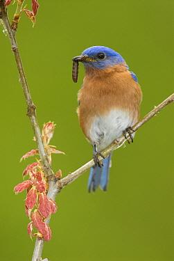 Eastern Bluebird (Sialia sialis) male feeding on insect prey, Huron Meadows Metropark, Michigan  -  Steve Gettle