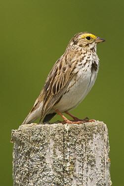 Savannah Sparrow (Passerculus sandwichensis), Crane Creek State Park, Ohio  -  Steve Gettle