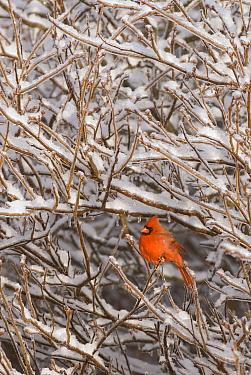 Northern Cardinal (Cardinalis cardinalis), Huron Meadows Metropark, Michigan  -  Steve Gettle